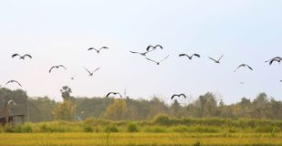 Asian openbill in paddy at Thailand. Asian openbill in paddy at Thailand in the evening Royalty Free Stock Photo