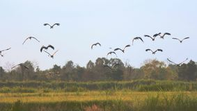Asian openbill in paddy at Thailand. Asian openbill in paddy at Thailand in the evening Stock Photo