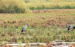 Asian openbill in paddy at Thailand. Asian openbill in paddy at Thailand In the evening Stock Photos