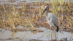 Asian Openbill Perching In Field. Asian openbill, Anastomus oscitans, is perching in wet field  in Prachin Buri, Thailand Royalty Free Stock Photos