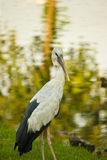 ASIAN OPENBILL AND POND Royalty Free Stock Images
