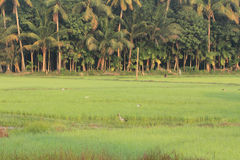 Asian openbill in rice field Stock Photos