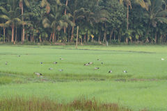 Asian openbill in rice field Stock Photography