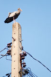 Asian openbill stand on electric pole Stock Images