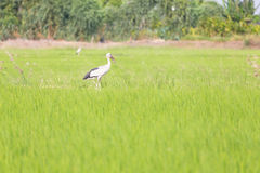 Asian Openbill standing in the rice field Royalty Free Stock Photos