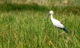 Asian openbill stock in Asian Sanctuary Royalty Free Stock Images