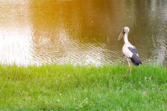 Asian openbill stock Stock Images