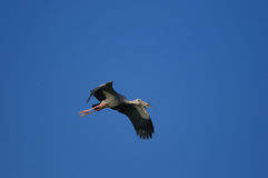Asian Openbill stork Royalty Free Stock Photography