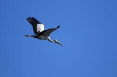 Asian Openbill stork Stock Images