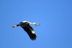Asian Openbill stork Stock Photo