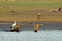 Asian Openbill Stork. A view of an Asian Openbill Stork perched on an old stump at the shores of the Bhadra Reservoir, , India Stock Photo