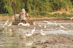 Asian Openbill Stork Royalty Free Stock Image