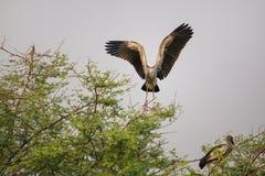 Asian openbill stork Anastomus oscitans in Keoladeo Ghana Nati Stock Image
