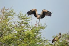Asian openbill stork Anastomus oscitans in Keoladeo Ghana Nati. Onal Park, Bharatpur, India. The park was declared a protected sanctuary in 1971 and it is also a Stock Photos