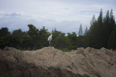 Asian Openbill Stork (Anastomus oscitans) standing on a clay with blurred green tree background. It can found this immigrated bird in Thailand,selective focus Royalty Free Stock Images