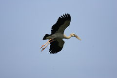 Asian Openbill stork Royalty Free Stock Image