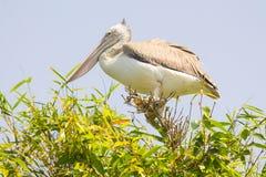 Asian openbill stork bird Stock Image