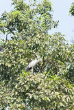 Asian Openbill stork bird in nature on the tree Royalty Free Stock Photos