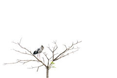 Asian openbill stork bird perched on a tree, isolated on white background with copy space royalty free stock photography