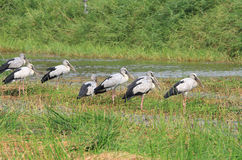 Asian openbill stork Royalty Free Stock Images