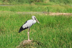 Asian openbill stork Royalty Free Stock Photography