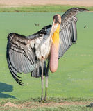 Asian openbill Royalty Free Stock Images