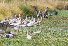 Asian Openbill stork  look at camera Stock Photos