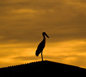 Asian Openbill Stork on roof (Binomial name : Royalty Free Stock Photo