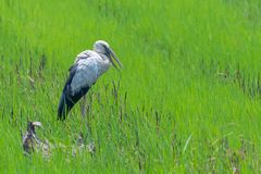 Asian openbill stork standing idle in green rice field. Supanburi, Thailand stock photography