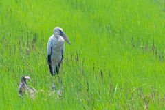 Asian openbill stork standing idle in green rice field. Supanburi, Thailand royalty free stock photos