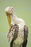 Asian Openbill Stork Stock Image