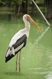 Asian Openbill Stork Royalty Free Stock Photo