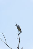 Asian Openbill stork on top of the tree Royalty Free Stock Image