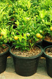 Asian orange tree Stock Images
