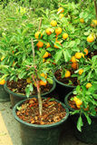 Asian orange tree Royalty Free Stock Photos