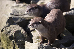Asian Oriental small-clawed otter, Amblonyx cinerea, live in families Royalty Free Stock Photography