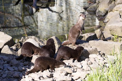 Asian Oriental small-clawed otter, Amblonyx cinerea, live in families Royalty Free Stock Photo