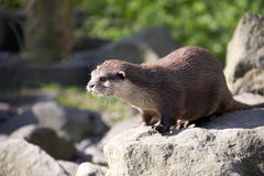 Asian Oriental small-clawed otter, Amblonyx cinerea, live in families Stock Photo