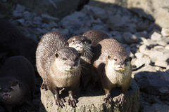 Asian Oriental small-clawed otter, Amblonyx cinerea, live in families Royalty Free Stock Images