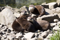 Asian Oriental small-clawed otter, Amblonyx cinerea, live in families Stock Photos