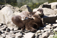 Asian Oriental small-clawed otter, Amblonyx cinerea, live in families Stock Image