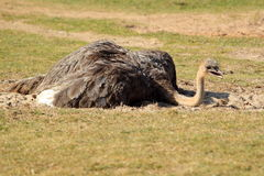 Asian ostrich Royalty Free Stock Image