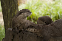 Asian otter Royalty Free Stock Image