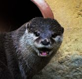 Asian otter Stock Photography