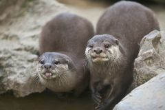 Asian otters Royalty Free Stock Images