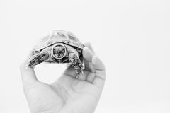 Asian overland turtle at hand of man isolated on white. Nature a. Nd human concept Stock Images