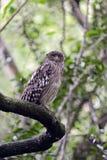 Asian Owl Stock Photos