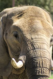 Asian Pachyderm Elephant Closeup 2 Royalty Free Stock Images
