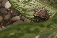 Asian painted frog. The banded bull frog (Kaloula pulchra) is a native of southeast Asia Stock Photography