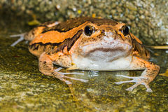 Asian painted frog Stock Image